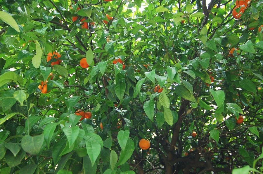Апельсины...